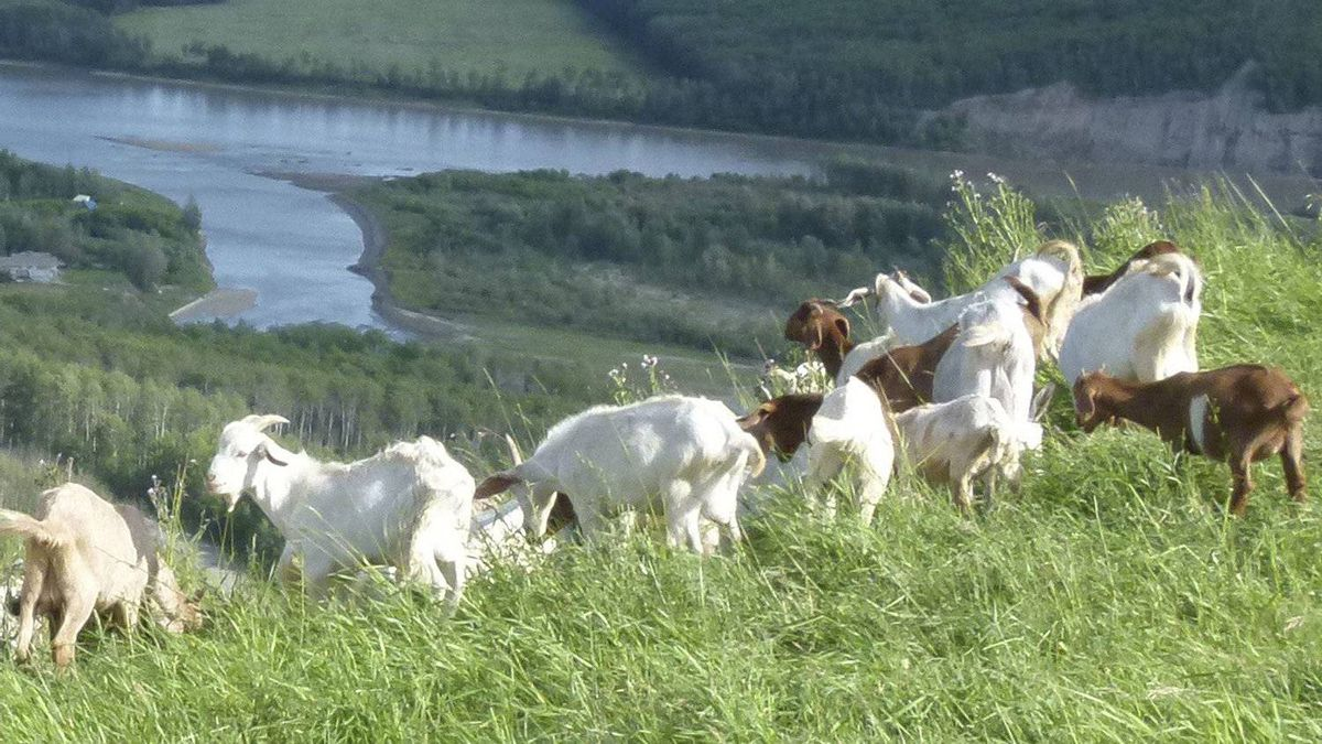 Goats grazing at Peace Lookout.