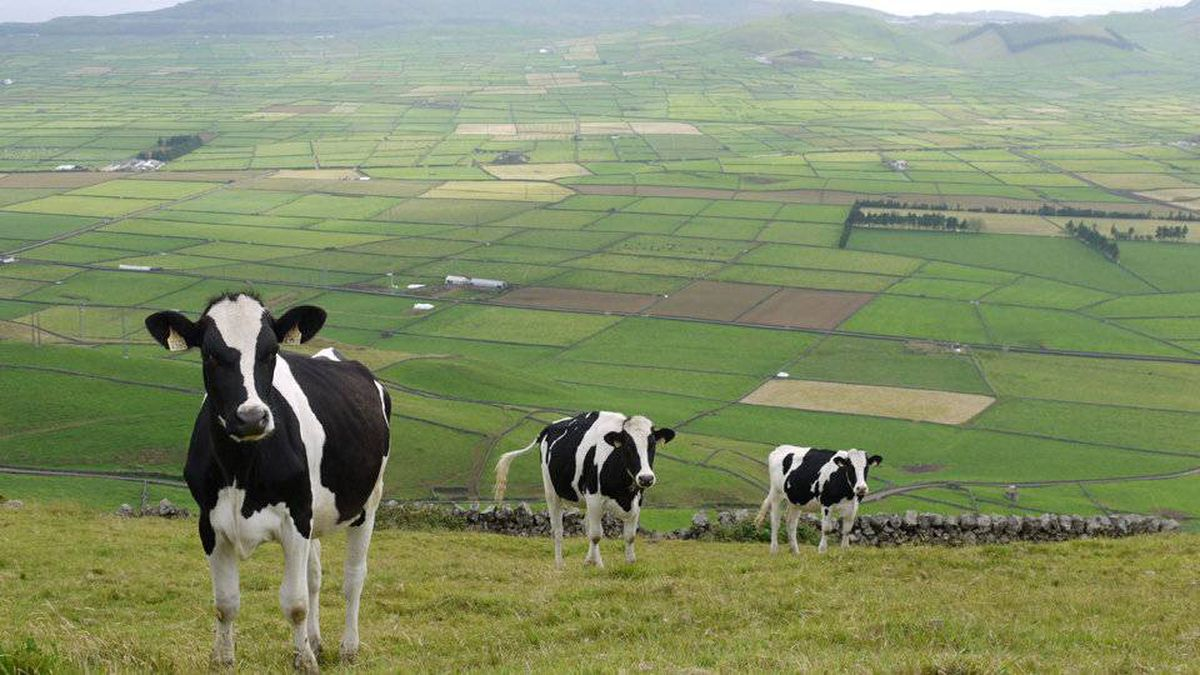 Cows graze in the picturesque terraced fields of Terceira, one of the islands that make up the Azores in the North Atlantic.