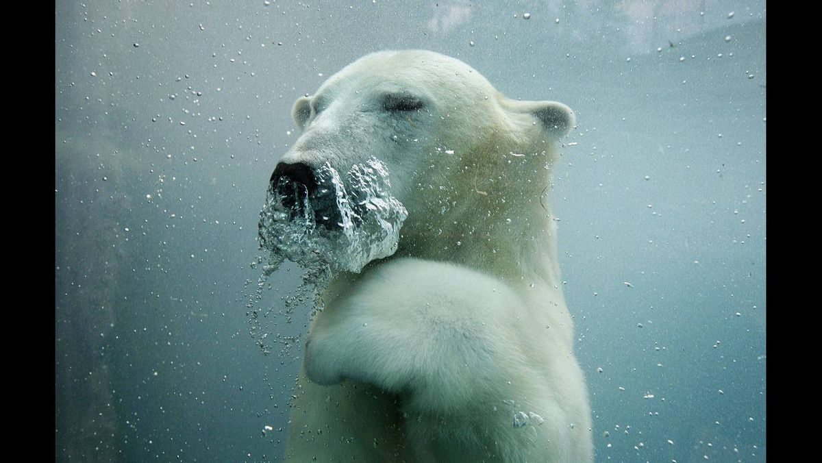 A polar bear swims underwater in the St-Felicien Wildlife Zoo in St-Felicien, Quebec October 31, 2011.
