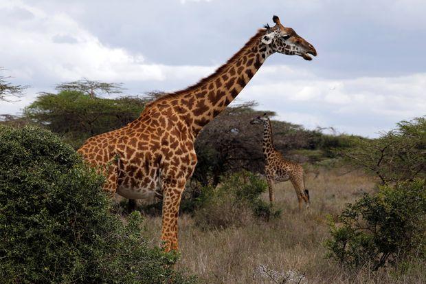 Trump administration takes step toward listing giraffes as threatened species