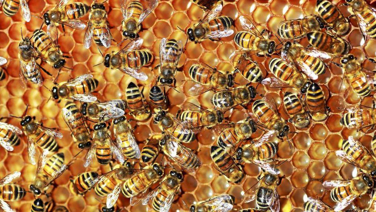 Honeybees at Van Dusen Gardens in Vancouver.