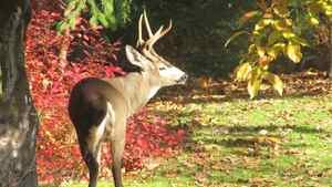 "Stephen McIntyre sent us this photo: ""A handsome buck comes to eat our backyard apples, Langley, B.C."""