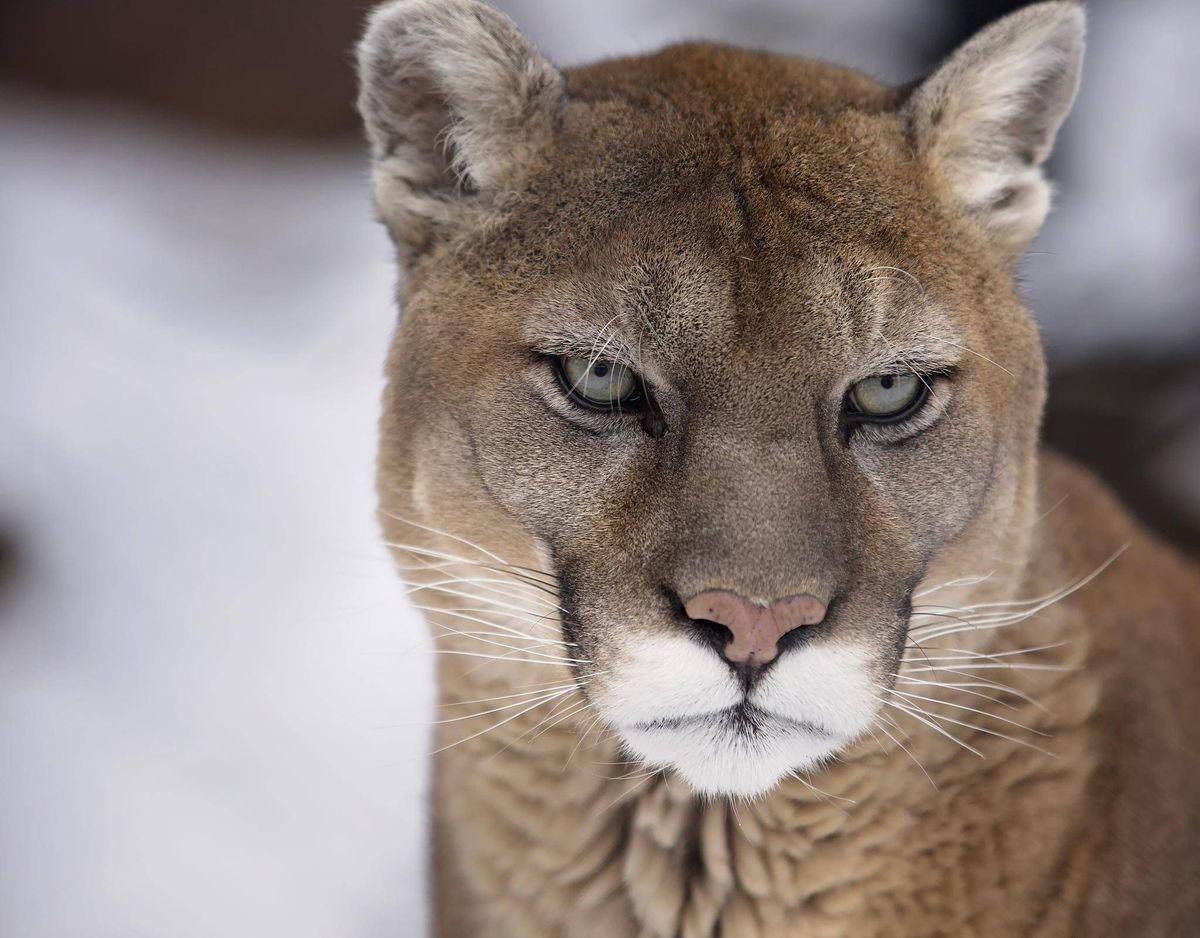 contact cougar vancouver