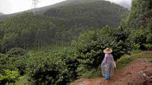 Plantations owned by Sino-Forest are seen in Tang Kong Village, near Gaoyao, Southern China on June 28, 2011.