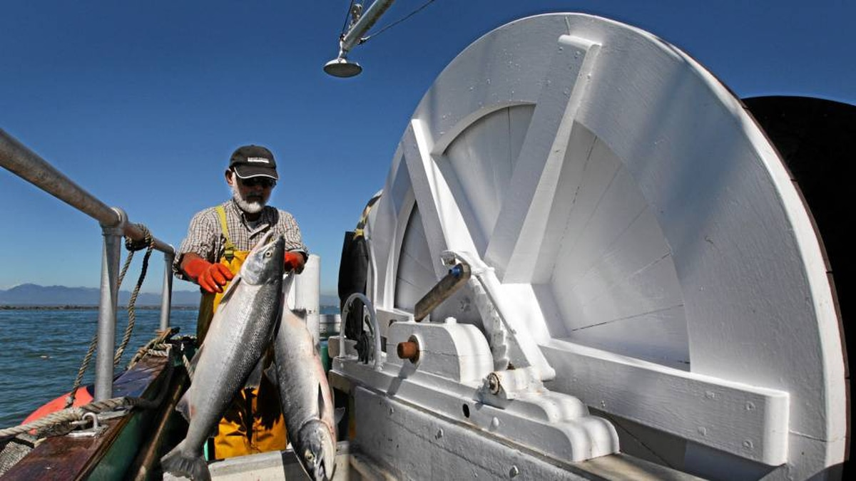 Captain Bud Sakamoto tosses sockeye salmon into a hold on his boat while fishing at the mouth of the Fraser River in Richmond, B.C., on Wednesday August 25, 2010.