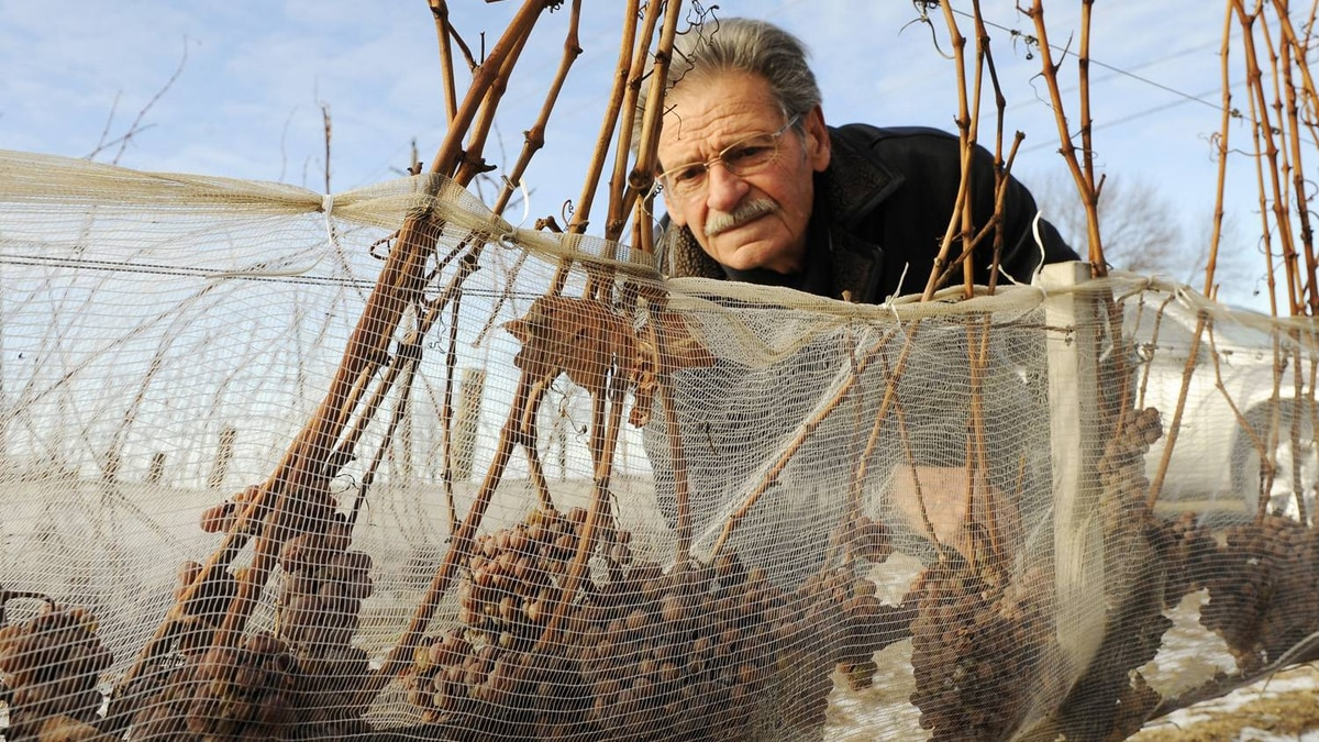 Wine producer Paul Bosc of Chateau des Charmes photographed with netted grapes at his winery in Niagara-on-the-Lake, Ont., Dec. 20/2009.