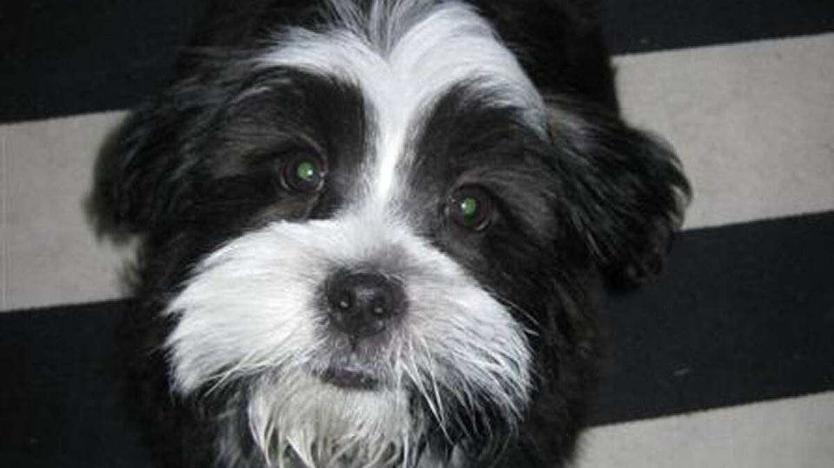 From Hayley Morrison in Toronto: This is Tuxedo our puppy, he is a shih poo (shih tzu -poodle mix), we call him Tux for short.