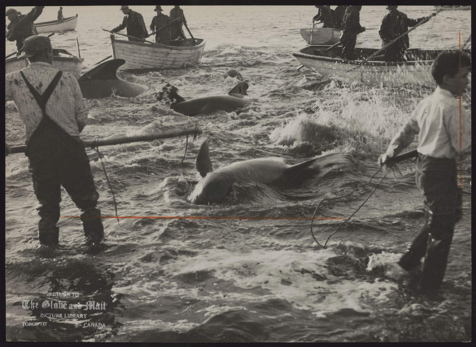 WHALING Landed whales are cut up and meat is sold as food for mink in Newfoundland.
