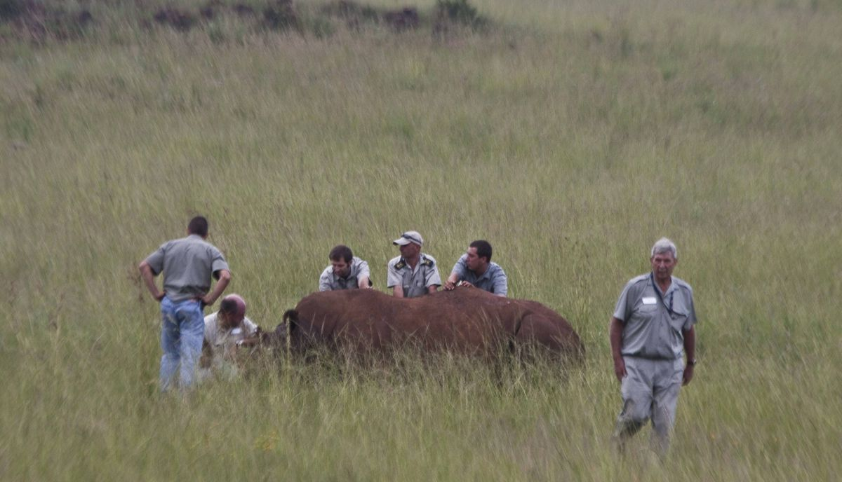 Veterinarians try to wake up the sedated rhino after the horn treatment is complete. But the rhino, named Spencer, failed to regain consciousness, and died. Vets suspect it had a chronic heart condition, and may have suffered a heart attack, but an autopsy will take place to determine the exact cause of death.