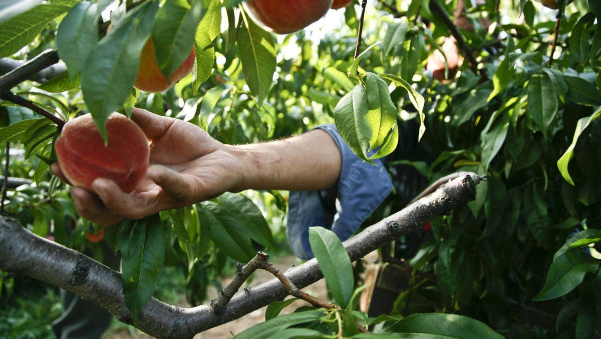 A migrant worker from Mexico picks peaches at an orchard in Beamsville, Ont.