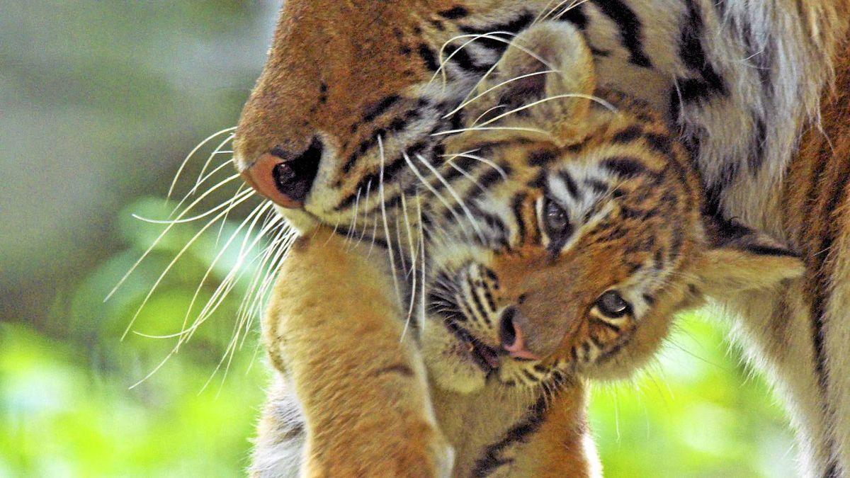 Captive siberian tiger carrying a young cub.
