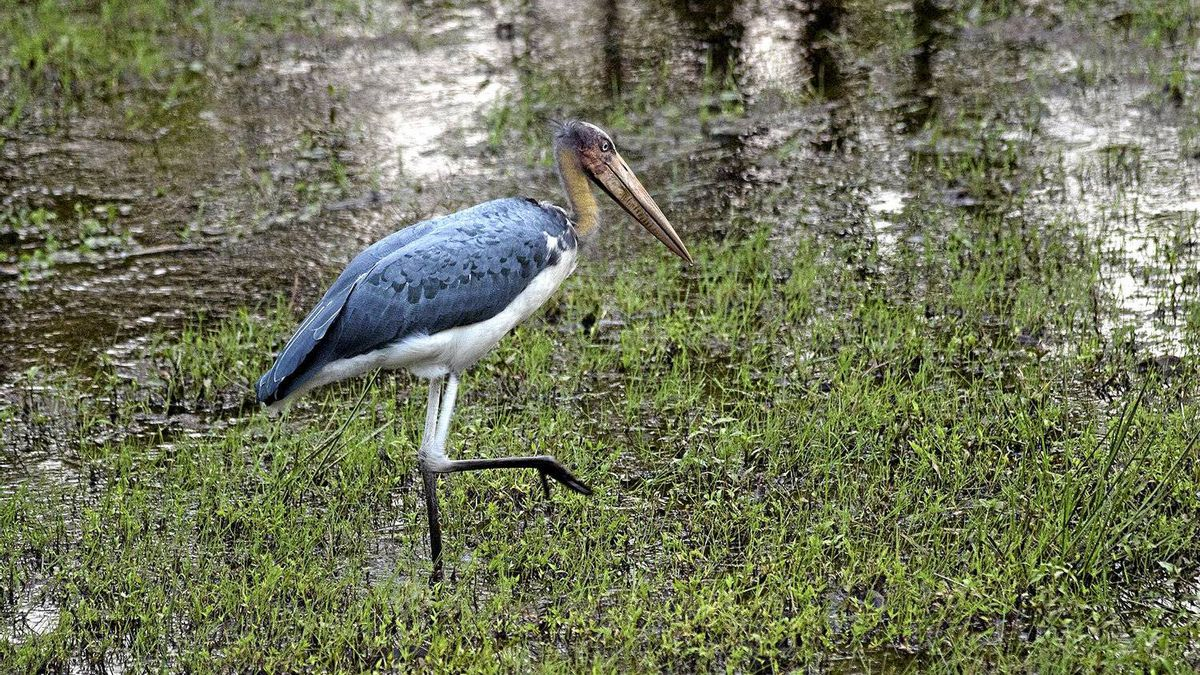 Over 300 species of birds live Kahna National Park, including the Lesser Adjutant stork. The park is a birdwatcher's paradise.
