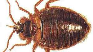 There is a resurgence in bedbugs in North America.