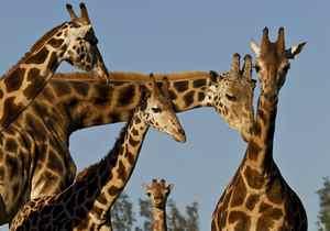 A four-week-old giraffe (C) takes a run