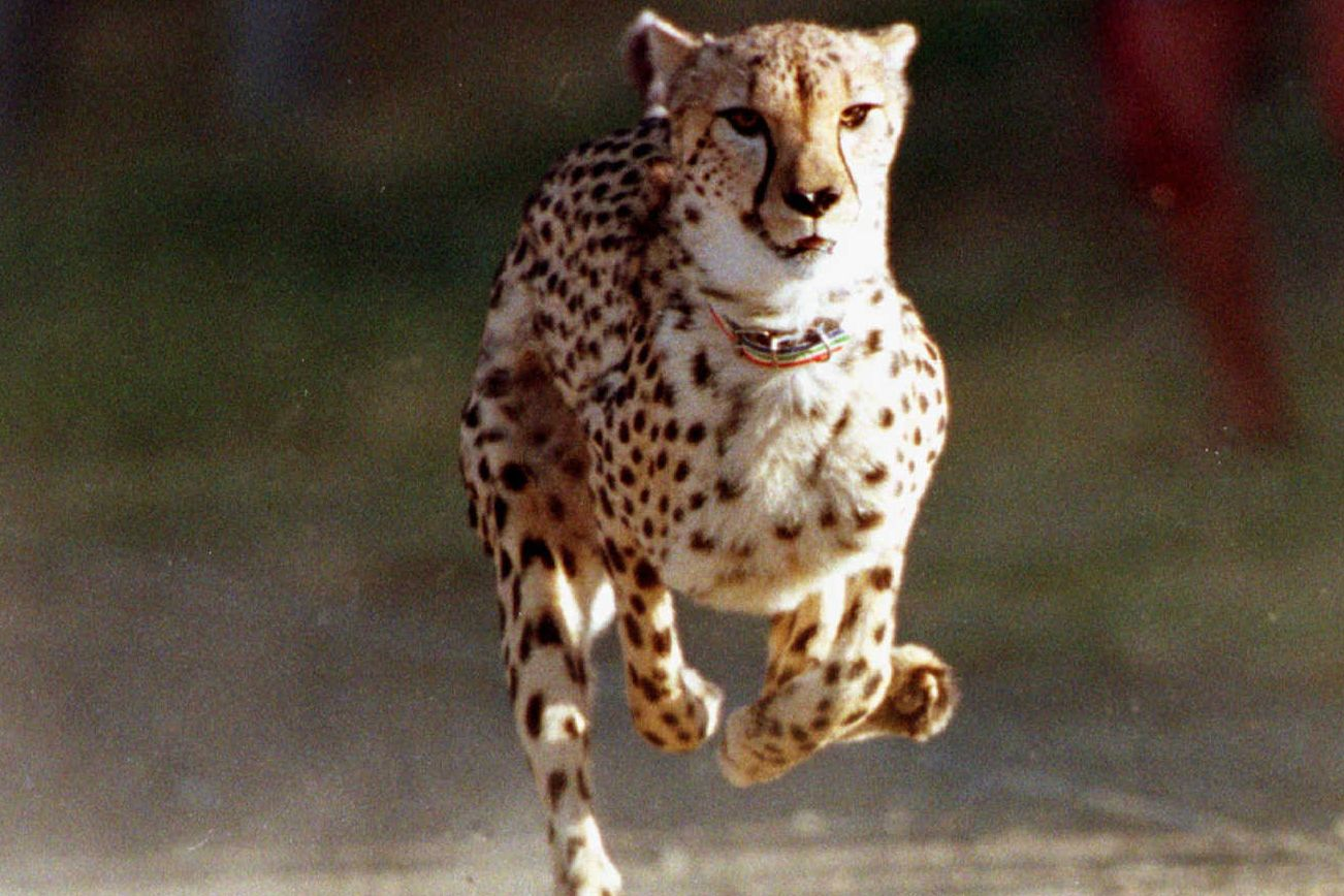 Pair of cheetahs denied permit to come to B.C. as conservancy ambassador animals