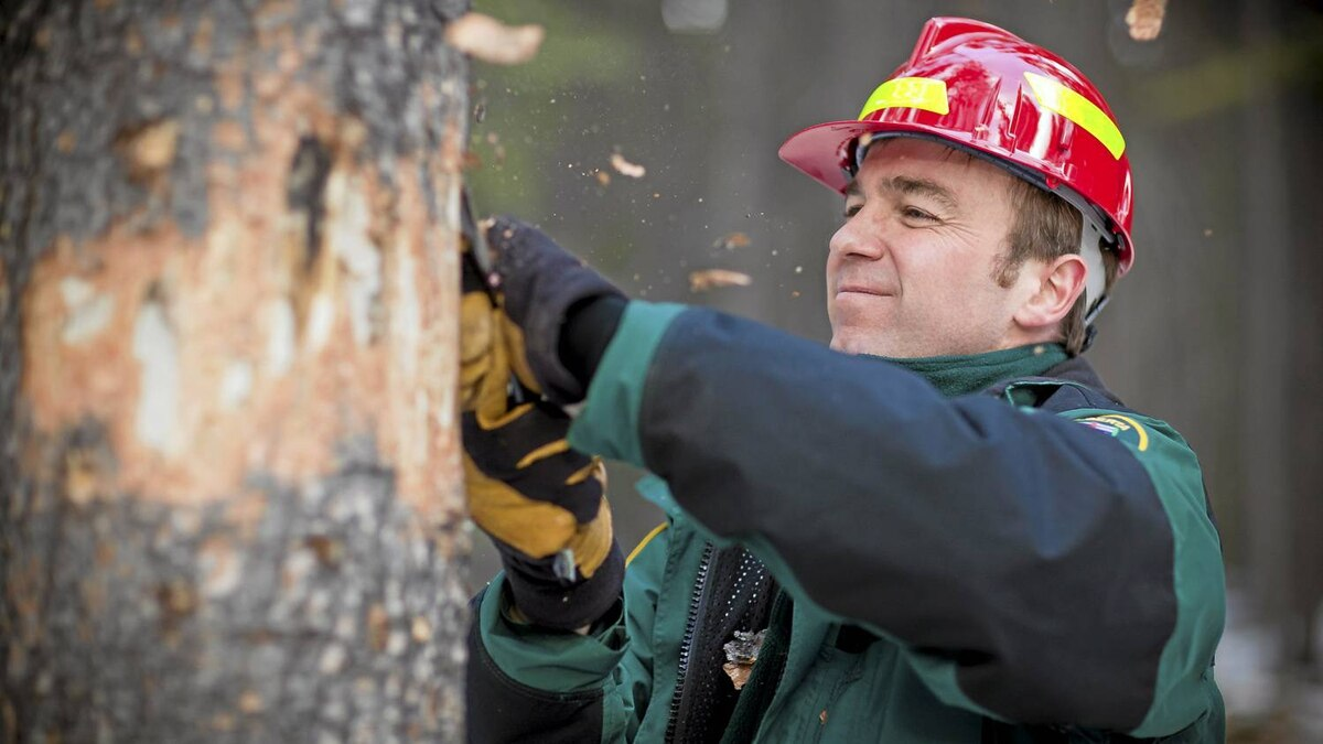 Brad Jones, a Forest Health Officer cuts into a soon to be fallen tree trunk. Crew members of the Mountain Pine Beetle crew set a controlled burn to trees in the area that have been infested by the Mountain Pine Beetle. After determining a tree is infested with mountain pine beetle, control crews will fall the tree and cut it into smaller portions to be piled and burned. Mountain pine beetles are attacking the province's pine trees. Left unmanaged, the beetle could devastate Alberta's pine forests and spread eastward across Canada's boreal region.