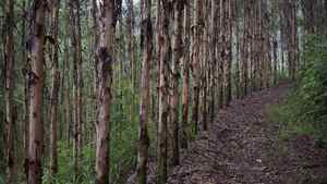 These timber plantations in Tang Kong Village, near Gaoyao, southern China, are owned by Sino-Forest Corp. Lawyers are vying for the right to represent shareholders in class-action suits against the forestry company.
