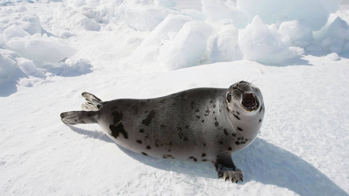 A Harp seal pup lays on an ice floe March 31, 2008 in the Gulf of Saint Lawrence near Charlottetown, Canada.
