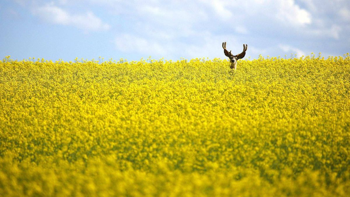 A stag stands in a neck high field of canola north of Cremona, Alta., on July 31, 2011.