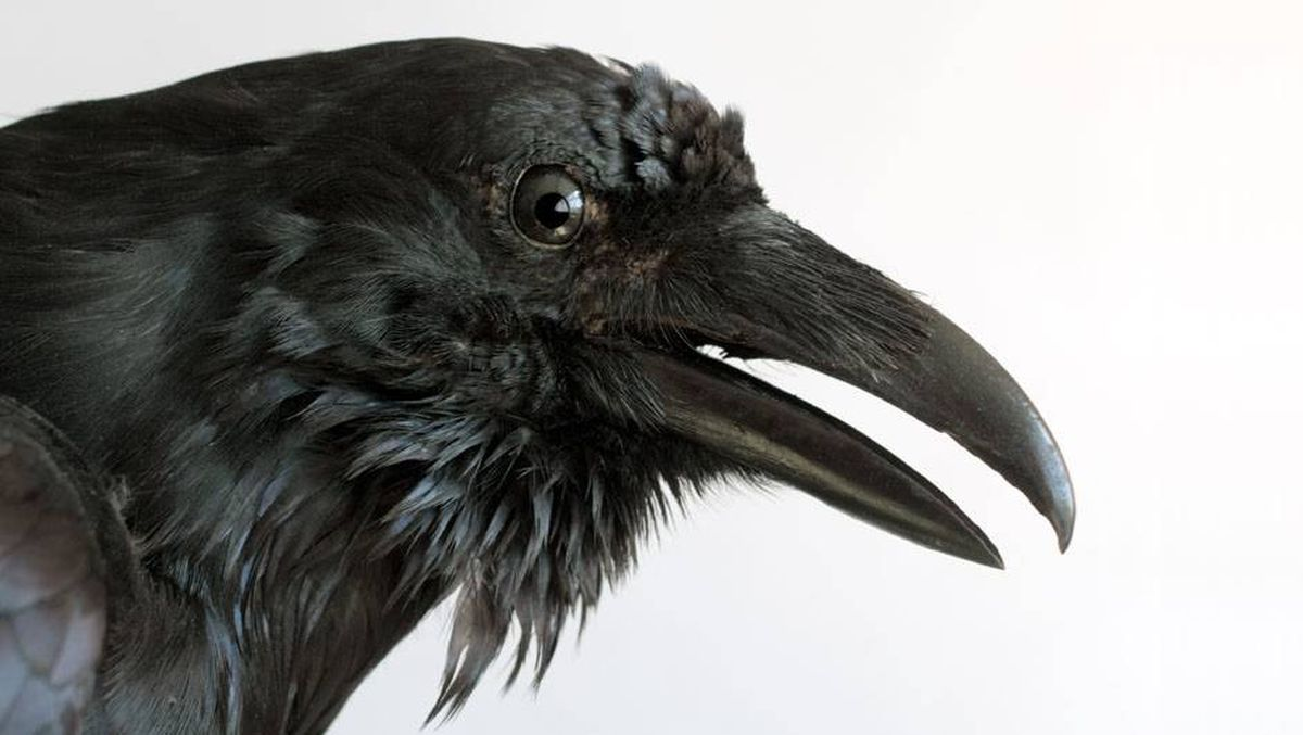 Why Do Crows Attack Cars The Globe And Mail