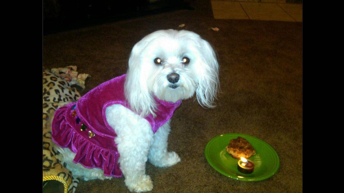 Martini, my seven-year-old Maltese, as I prepared to sing Happy Birthday to her on Friday May 4, 2012. She is a purebred born in Texas.
