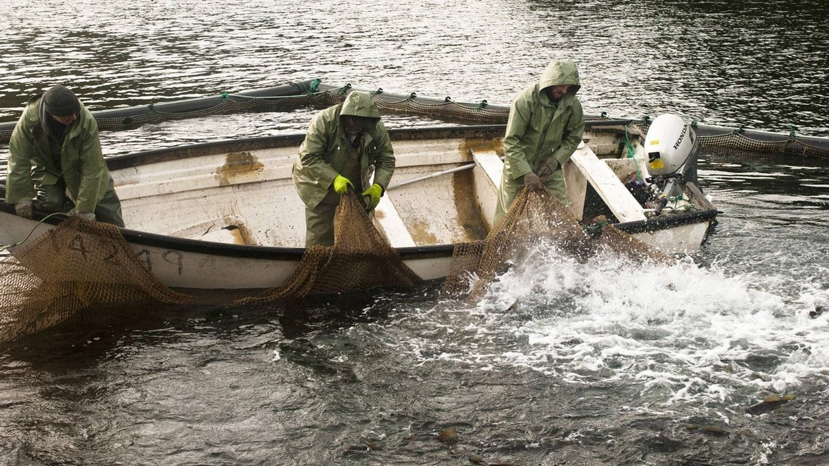 Viv, Greg and Alonzo Seward haul up the netting of a fish compound at the Gooseberry Cove Cod fish farm.