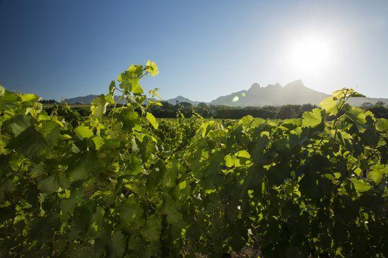 Six South African chenin blancs that showcase the grape's dramatic range