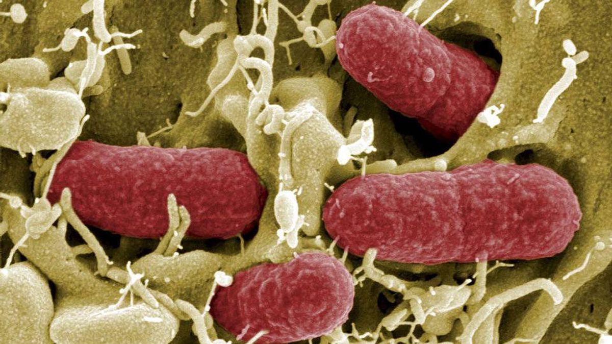 EHEC bacteria (enterohaemorrhagic Escherichia coli) killed several people in Europe last spring.