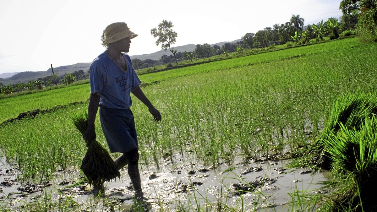 Fears of contracting cholera from the Haiti's rice paddies, like this one in Saint-Marc, have driven down the farms' productivity and sent the cost of food in the country soaring upward.