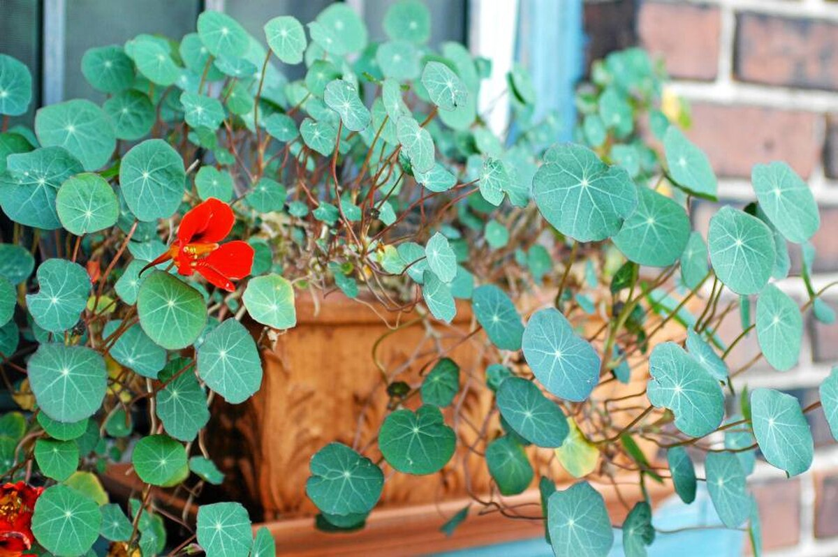 Although nasturtiums can take a lot of tough love, don't be so rough with container-grown varieties. Never let them dry  out, for instance. And give them a slightly shadier spot than you would in-ground plants.