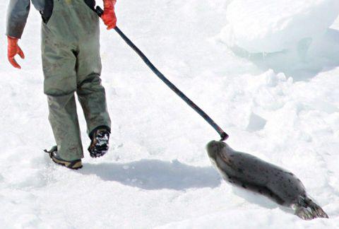 Canada loses bid to block European ban on seal products