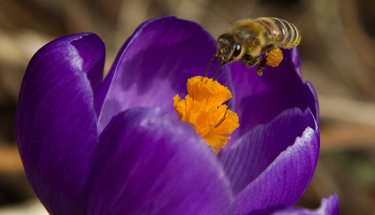 A honey bee gathers pollin from a freshly bloomed flower on Bain Avenue in Toronto.