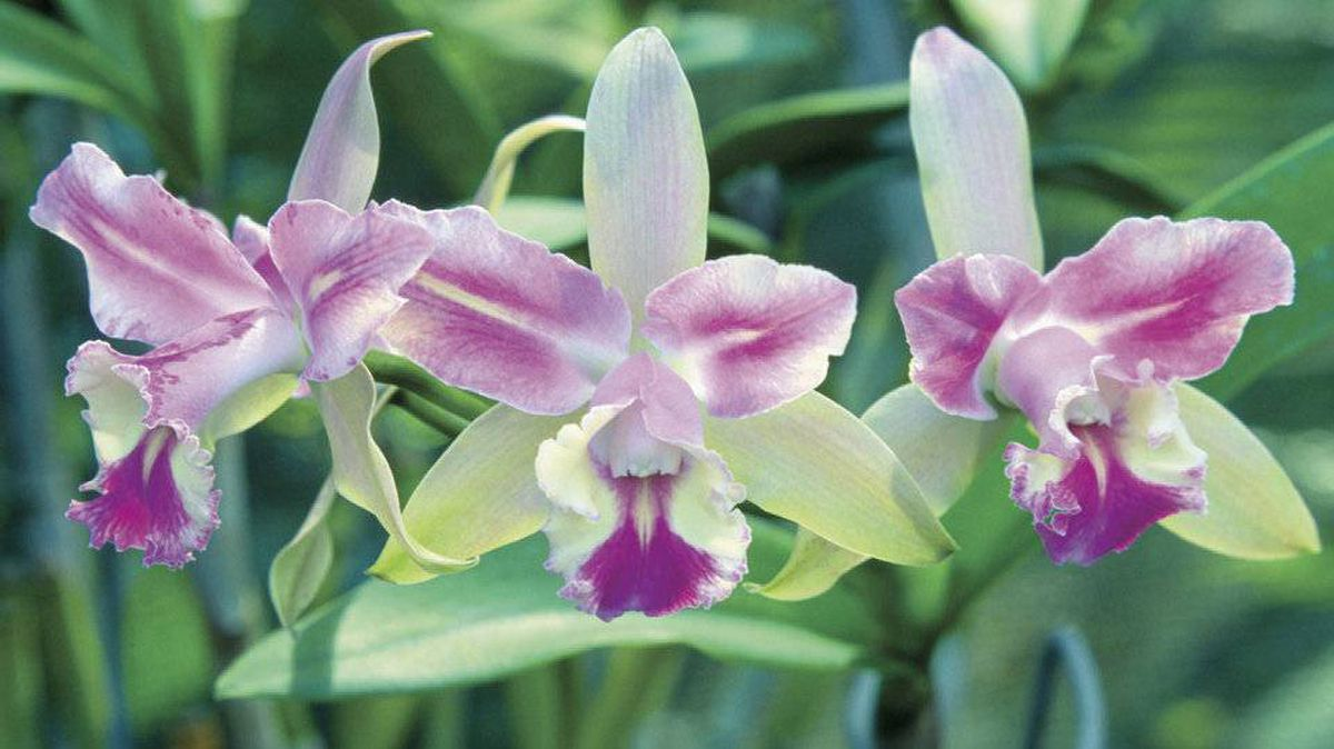 Orchids grow in the Garden of the Sleeping Giant on Viti Levu, Fiji's largest island.