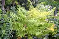 The new foliage of the staghorn sumac is almost lime green.