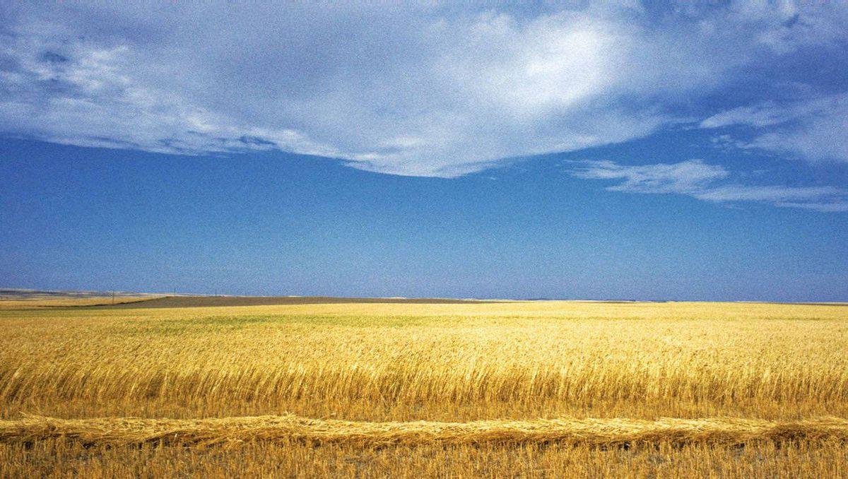 A Saskatchewan wheat field