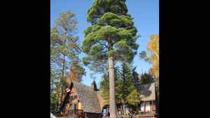 """A giant white pine fronts the cottage. It was called the """"hugging tree"""" by the original owners, who left a letter when they sold to Krista LaRiviere and her husband, Andrew Zyp."""