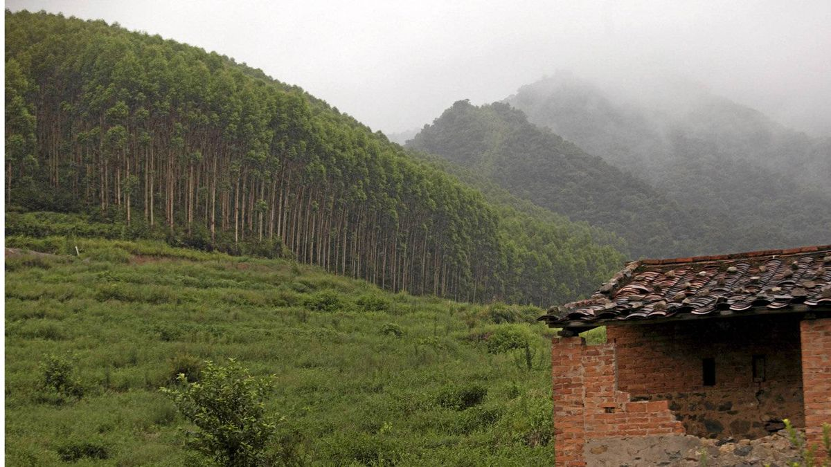 Plantations owned by Sino-Forest are seen in the village of Tang Kong, near Gaoyao in southern China.
