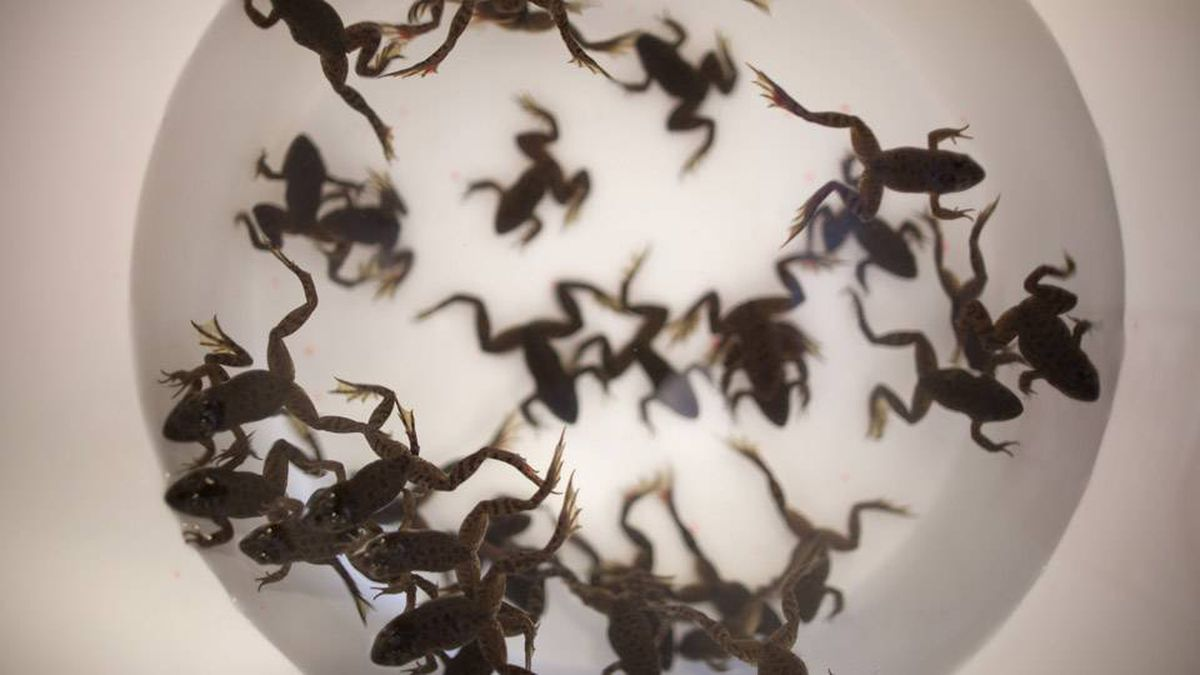 In this file photo, Oregon Spotted Frogs wait in a bucket to be released into the wild after being tagged at the Mountain View Wildlife Conservation Centre in Langley, British Columbia