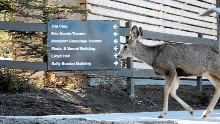 A deer heads to class at the Banff Centre.