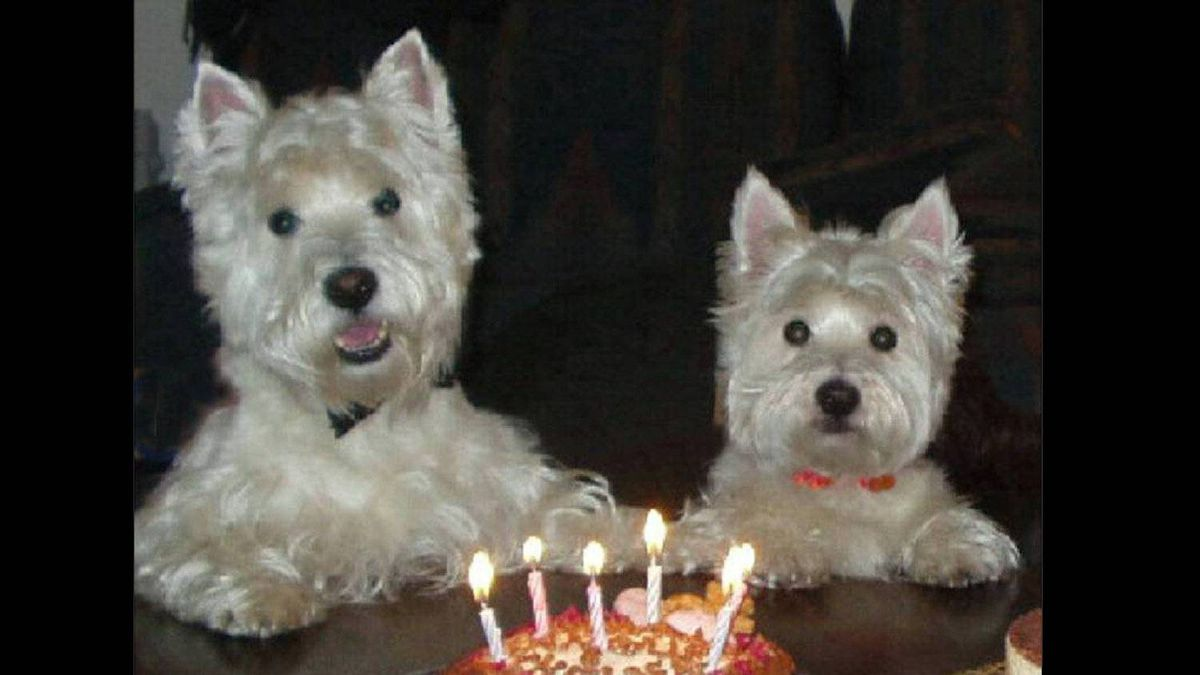This is Angus and Chelsea, West Highland White Terriers, at their birthday party on April 24, a few years ago. My friend Linda and I met the day we picked up the puppies from the breeder. We have celebrated their birthdays together every year for the past 15 years.