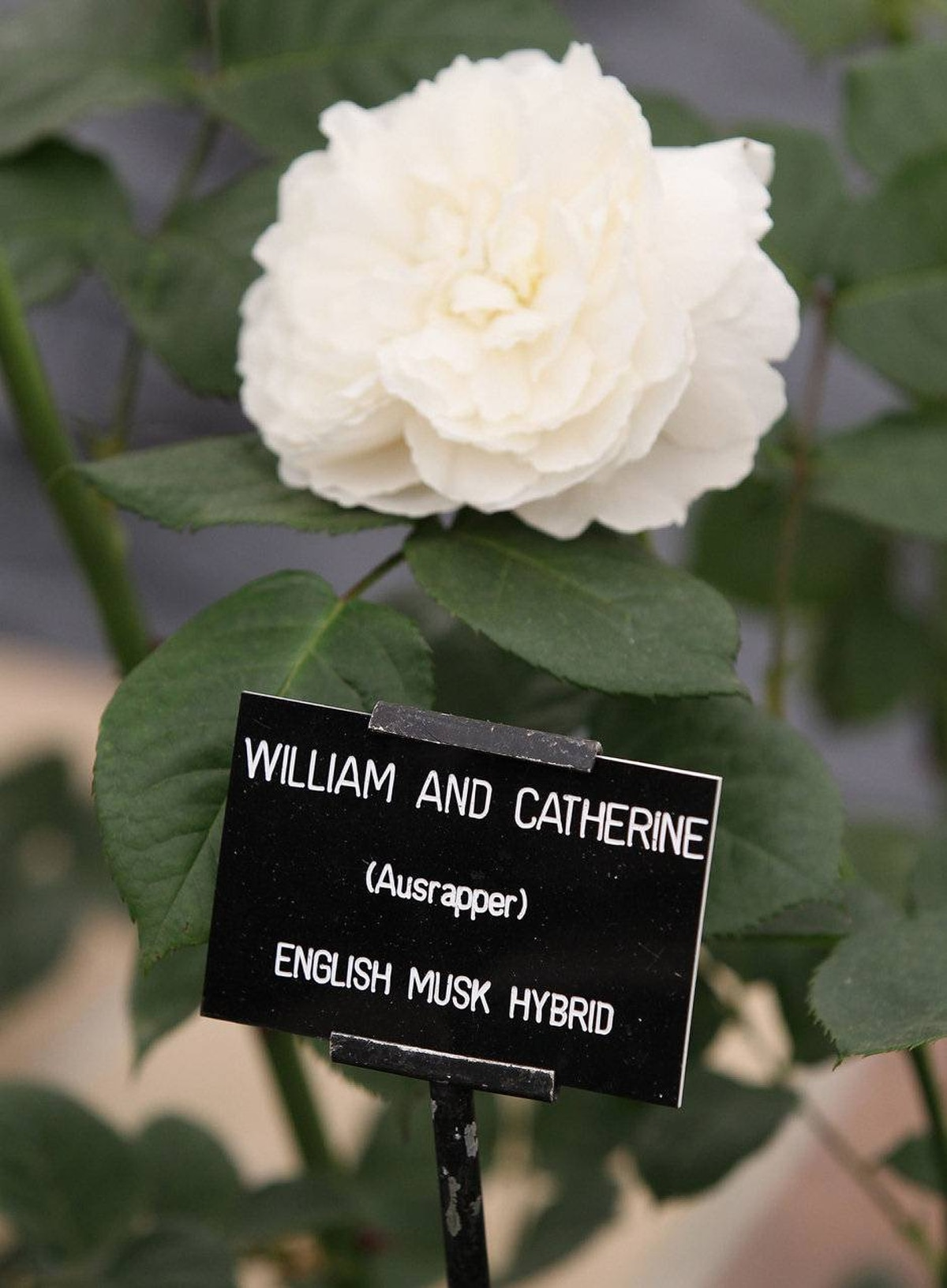 The royal newlyweds were there in spirit: A 'William and Catherine' Rose was shown at the David Austen stand during Chelsea Flower Show Press and VIP Day on May 23, 2011 in London, England.