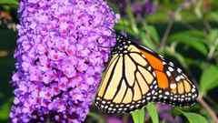 Butterfly bush with migrating monarch refueling.