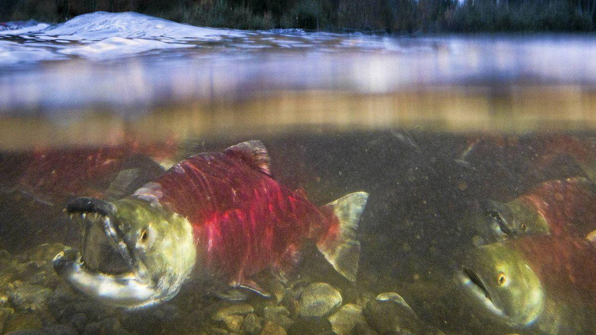 Sockeye salmon make their way up the Adams River at Roderick Haig-Brown Provincial Park north of Chase B.C. October 12, 2010.