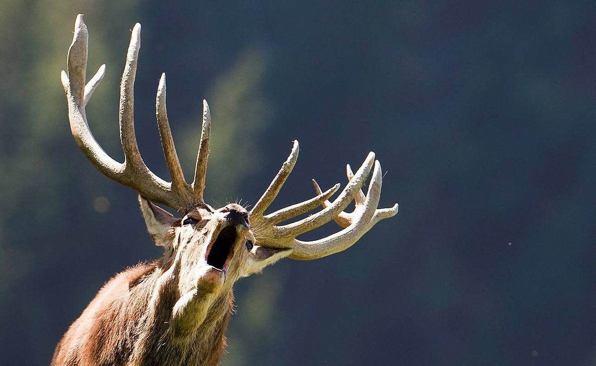 A rutting stag bellows in a wildlife park in Aurach near Kitzbuehel, in the Austrian province of Tyrol, Wednesday, Oct. 7, 2009. Temperatures are very mild and will climb up to 28 degree Celsius.