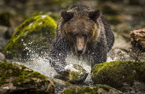 BC Government ends grizzly bear hunt