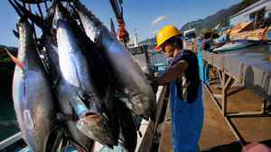 A worker transfers tuna from a boat to the land at the Maruha Nichiro Holdings Inc. tuna farm in Kumano, Japan.