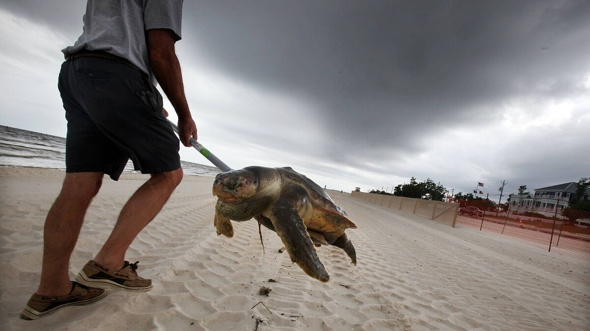A dead sea turtle is carried out of the surf on April 14, 2011 in Waveland, Mississippi. Local turtle activists Donald and Shirley Tillman say they have discovered 19 dead sea turtles in Mississippi in the month of April alone and suspect they are dying due to the effects of the BP oil spill.