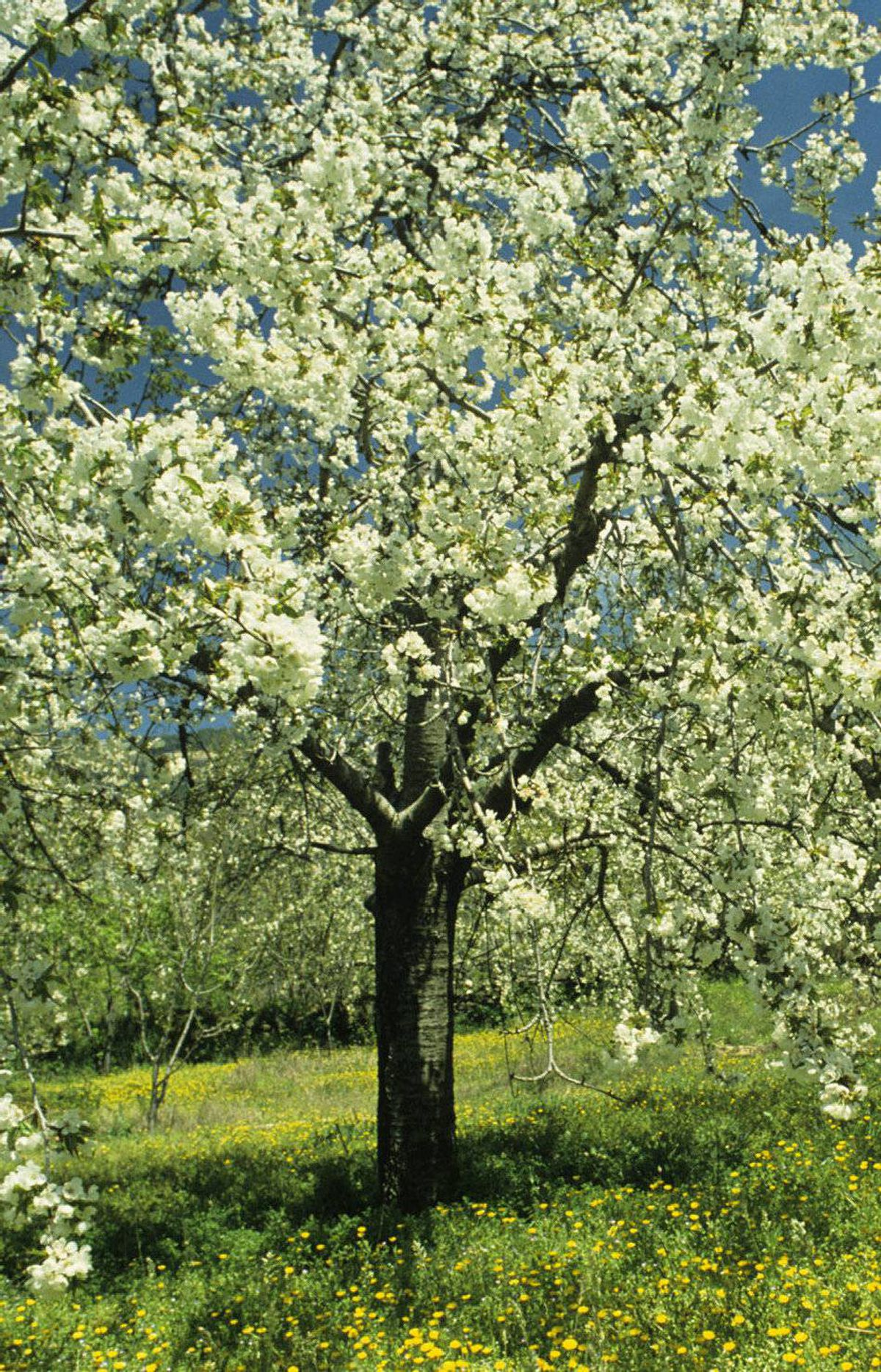 THE FOODIE Cherry tree, $129.99 at Sheridan Nurseries (www.sheridannurseries.com).