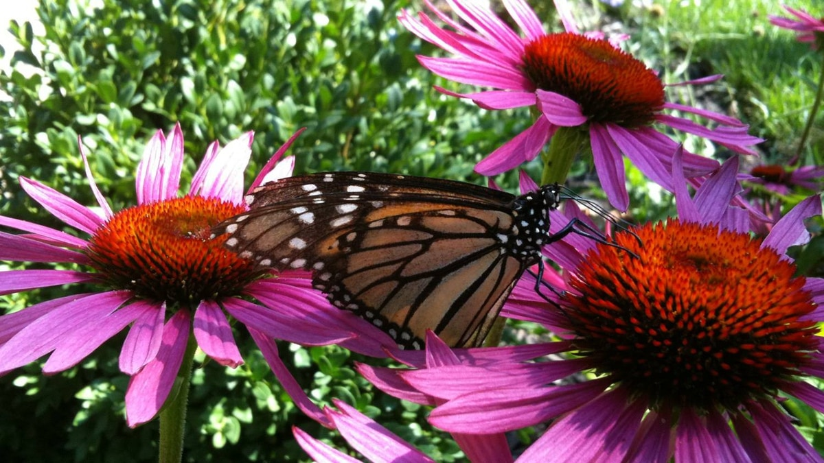 BF send us this iPhone image of a butterfly on the echinacea in his garden.