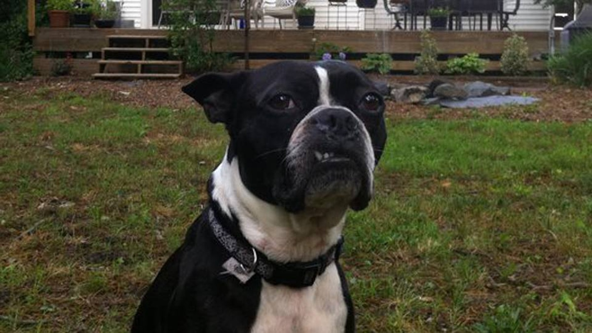From Celestine Jack in Norfolk, Virginia: This is my Boston Terrier Butler, aka Boo.